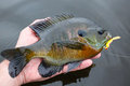 Bluegill fish caught on lure a fat is held near the water after being a jig Royalty Free Stock Photos