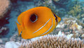 Bluelashed butterflyfish, Athuruga, Maldives Stock Image