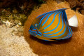 Bluering Angelfish in Aquarium Stock Images