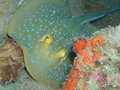 Bluespotted ribbontail ray Stock Photography