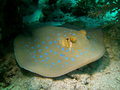 Bluespotted ribbontail ray taeniura lymma a species of stingray in the red sea also known as fantail Stock Images