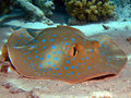 Bluespotted stingray Royalty Free Stock Photo