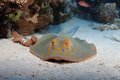 Bluespotted stingray taeniura lymma on the sandy bottom of the red sea Stock Photo