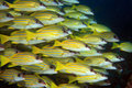 Bluestripe snappers lutjanus kasmira in the coral reef Stock Photos