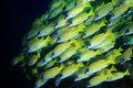 Bluestripe snappers lutjanus kasmira in the coral reef Royalty Free Stock Image