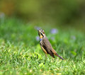 Bluethroat a bird looking for food Royalty Free Stock Images