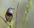 Bluethroat on branch Stock Images