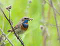 Bluethroat with prey Royalty Free Stock Photo
