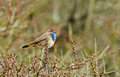 Bluethroat on a twig sitting Stock Image