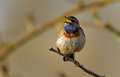Bluethroat on a twig sitting Stock Photography