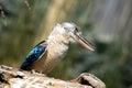 Bluewinged kookabra sitting on a log portrait