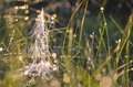 Blur dewy summer end grass with spiderweb background Royalty Free Stock Photo