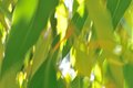 Blur of gum leaves moving backlit in soft focus Stock Images