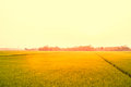 Blur paddy green and gold rice fields with morning soft sunrise Royalty Free Stock Photo