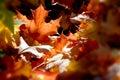 Blur sun ray autumn maple leaf Royalty Free Stock Photo