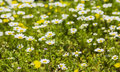 Blurred background lawn with blooming daisies Royalty Free Stock Photo