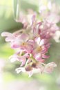 Blurred dream image of pastel pink Ascocentrum orchid flower, sweet toned and soft focus. Royalty Free Stock Photo