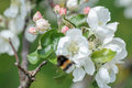 Blurred flying bumblebee at spring apple tree flowers background Royalty Free Stock Photo