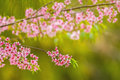 Blurred pink flower Wild himalayan cherry ,Bright color bokeh ba Royalty Free Stock Photo