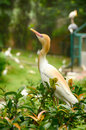 Blurred and selective focus image of cattle egret (Bubulcus ibis) bird standing on green foliage Royalty Free Stock Photo