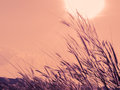 Blurry of grass flower at sunset vintage Royalty Free Stock Photos