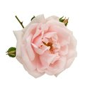 Blush pink rose isolated on white Royalty Free Stock Photo