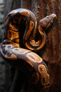 Boa constrictor close up of a snake Stock Photo
