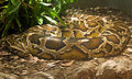 Boa constrictor coiled in terrarium Royalty Free Stock Image