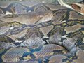 Boa constrictor snake Royalty Free Stock Image
