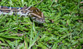 Boa constrictor snake on grass Royalty Free Stock Image