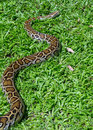 Boa constrictor snake on grass Stock Photo