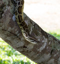 Boa constrictor snake on tree Stock Images