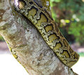 Boa constrictor snake on tree Stock Photography