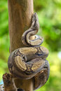 Boa snake Royalty Free Stock Photo