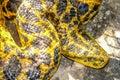 Boa snake Royalty Free Stock Photo