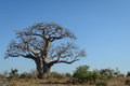 Boabab tree kruger park south africa baobab Royalty Free Stock Photography