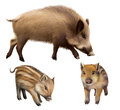 Boar piglets boar illustration white background Stock Images
