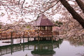 Boardwalk gazebo northern virginia park landscape of a with leading framed by cherry blossoms at their peak in meadowlark Stock Image