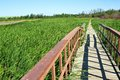 Boardwalk through summer marsh a wooden walkway in a cattail in Royalty Free Stock Photo