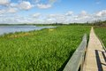 Boardwalk through summer marsh a wooden walkway in a cattail in Royalty Free Stock Image