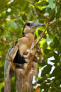 Boat Billed Heron Royalty Free Stock Photography
