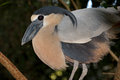 Boat-Billed Heron Stock Image