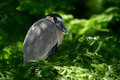 A boat-billed heron in a tree Royalty Free Stock Photo