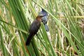 Boat-tailed Grackle In Evergla...