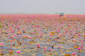 Boat Tour in Large Lake of Blooming Pink Lotus or Water Lily, Th Royalty Free Stock Photo