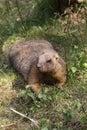 Bobak marmot Royalty Free Stock Photo