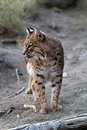 Bobcat adult north american looking to the left Stock Photo
