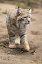 Bobcat the adult strolling on the soil Royalty Free Stock Photo