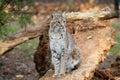 Bobcat Or Bay Lynx