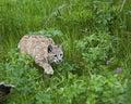 Bobcat in grasrijke weide Stock Afbeeldingen